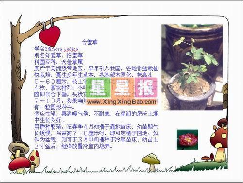 植物含羞草电脑小报