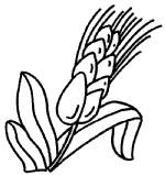 水稻简笔画