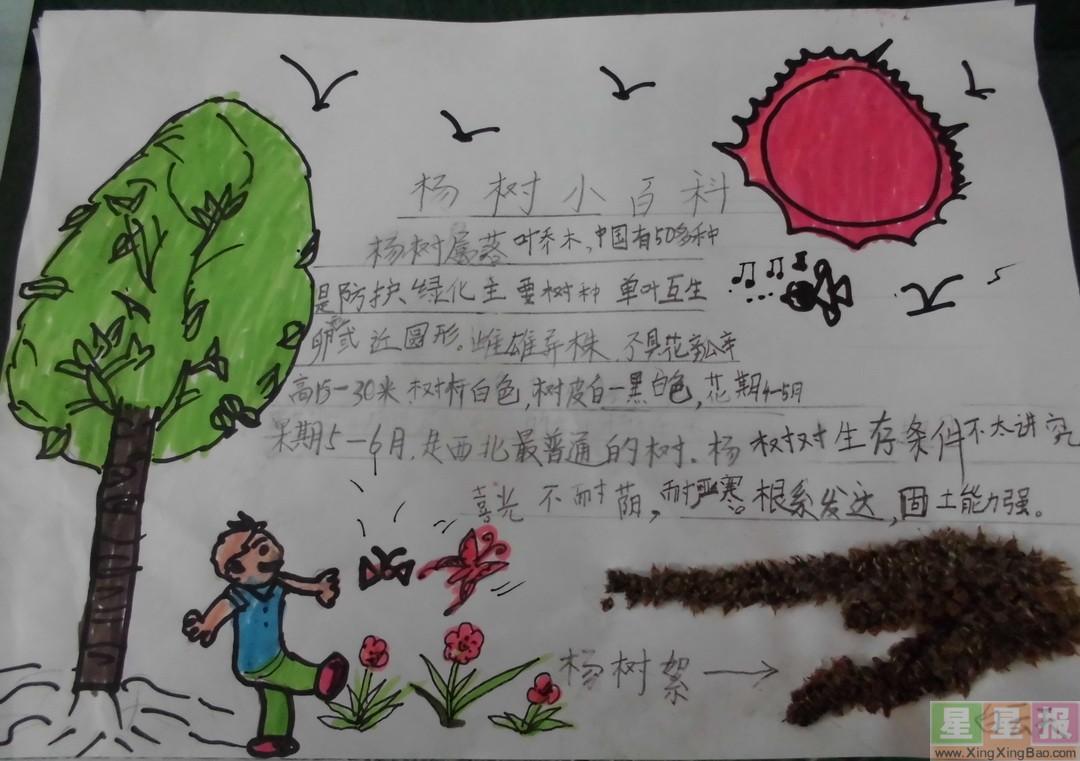 小学生杨树手抄报内容